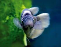 Beautiful fish underwater Royalty Free Stock Photography