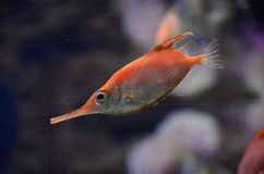 Beautiful fish from the warm sea. Small fish, a long snout, orange, red with a silver belly. You see gills, fins, fish eye and long jaws. Blurred background Stock Photos
