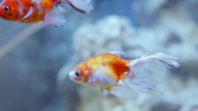 Beautiful fishes swim in aquarium water. Beautiful fishes of different sizes swim in transparent aquarium water. Colorful aquarium tank filled with stones stock footage