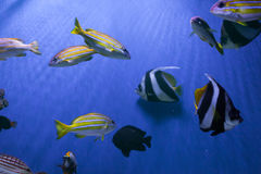 Beautiful fishes swim Royalty Free Stock Photography