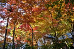 The shade of five color autumn trees in Kyoto. Beautiful five color autumn trees under sunlight creating shade and shadow on a small white temple royalty free stock photography