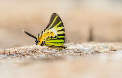 Beautiful The Fivebar Swordtail butterfly eat mineral in nature Royalty Free Stock Photo