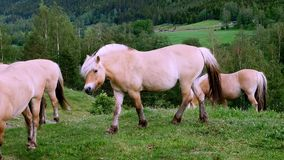 Beautiful fjord horses on green grass in mountainside pasture.