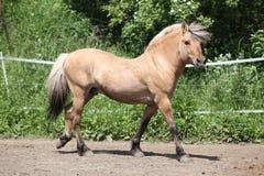 Beautiful fjord pony stallion in paddock Stock Photo