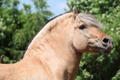Beautiful fjord pony stallion Royalty Free Stock Photo