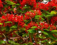 Beautiful flamboyan tree with colorful red flowers. Green buds and flowers of flamboyan Royalty Free Stock Photos