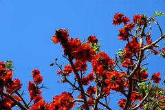 Beautiful Flamboyant tree (Royal Poinciana or Delonix regia  ) Stock Image