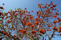 Beautiful Flamboyant tree (Royal Poinciana or Delonix regia  ) Stock Photo