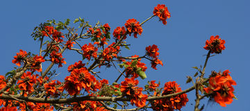 Beautiful Flamboyant tree (Royal Poinciana or Delonix regia  ) Stock Images