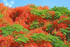 Beautiful Flame tree delonix regia flowers Stock Photo