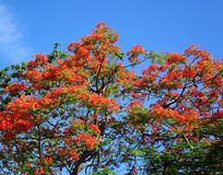 The Beautiful Flame Tree Royalty Free Stock Photo