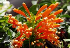 Beautiful Flaming Trumpet flowers Royalty Free Stock Photos