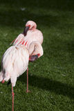 Beautiful Flamingo Stock Photography