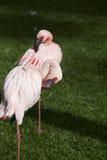 Beautiful Flamingo Stock Photography