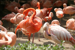 Beautiful Flamingo Birds Stock Photography