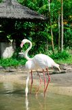 Beautiful Flamingo breeding Royalty Free Stock Images