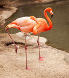Beautiful Flamingo Couple Rest Stock Photography