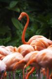 Beautiful flamingo group Royalty Free Stock Image