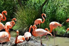 Flamingo Lingo Group. Beautiful flamingo group hanging out at pond Royalty Free Stock Images