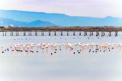 Beautiful flamingo group in the water in Delta del Ebro, Catalunya, Spain. Copy space for text. Royalty Free Stock Images
