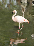 A beautiful Flamingo in a pond Stock Photography