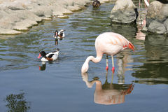 Beautiful flamingo searching food in water Royalty Free Stock Images