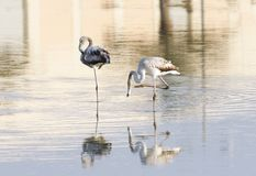 Beautiful Flamingos & dramatic reflection on water Royalty Free Stock Photo