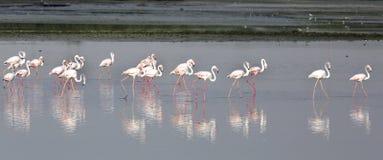 Beautiful Flamingos Royalty Free Stock Image