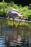 Beautiful flamingos hid their beaks under their wings. Nbeautiful flamingos standing in the middle of the reservoir hid their beaks under the wings stock photography