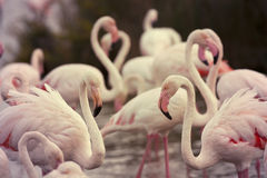 Beautiful flamingos Stock Images