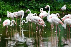 Beautiful Flamingos Royalty Free Stock Images