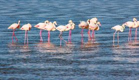 Beautiful flamingos walking around the lagoon and looking for food stock photo
