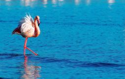 Beautiful flamingos walking around the lagoon and looking for food stock images