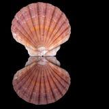 Beautiful flat aka zigzag scallop shell Royalty Free Stock Image