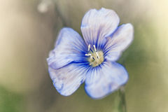 Beautiful flax flower  on meadow Royalty Free Stock Photos
