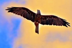Flight of an Eagle in Spain. Beautiful flight of an Eagle Stock Photos