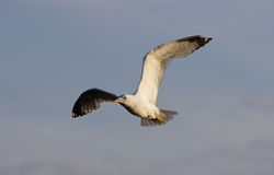 The beautiful flight of the gull Stock Photography