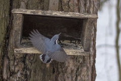 Beautiful Flight of Nuthatch Stock Photography