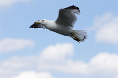 Beautiful flight of the ring-billed gull Stock Image