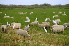 Beautiful flock of sheeps  with dipped white birds Stock Photography