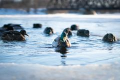 Flock of wild ducks swimming in the cold water of a frozen river lake or pond in a winter sunset light royalty free stock images