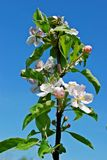 Beautiful floral apple trees over blue sky Royalty Free Stock Images