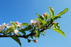 Beautiful floral apple trees over blue sky Royalty Free Stock Image