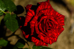 Beautiful floral background. Amazing view of a bright red rose Stock Images