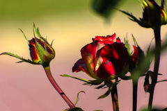 Beautiful floral background. Amazing view of a bright red rose Royalty Free Stock Image