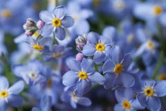Beautiful floral background of blue forget-me-not Stock Photos