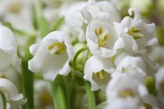 Beautiful floral background of flowers lily of the valley. Macro horizontal Royalty Free Stock Image