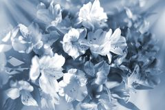 Beautiful floral background in light blue and white soft colors, lily flowers in sun rays closeup. Blurred bokeh delicate flower composition, festive art stock images