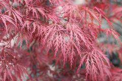 Beautiful floral background of pink red weeping Japanese Maple or Acer palmatum. stock image