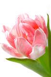 Beautiful floral background with pink tulip Royalty Free Stock Photos